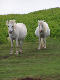 [i]White horses on Garway Common[/i]
